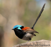 Chris_Red-winged FW (3)