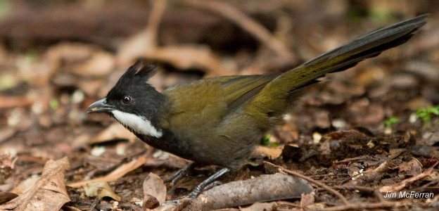 Eastern whipbird_Jim McFerran (2)