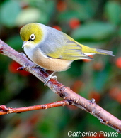 Silvereye_2011_Launceston (5)-001