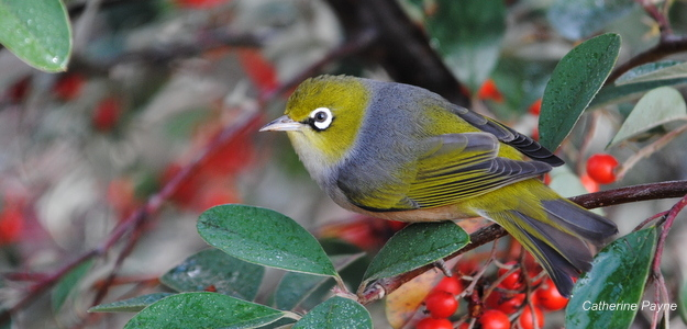 Silvereye_2011_Launceston (8)-001
