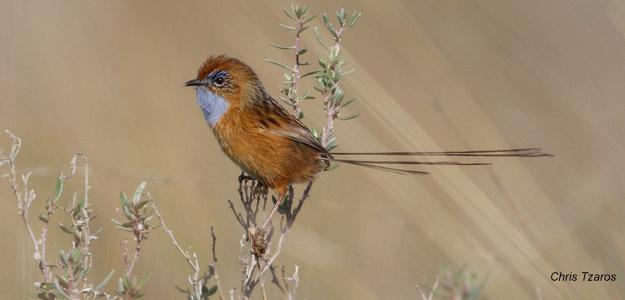 Southern Emu-wren_Chris Tzaros (2)